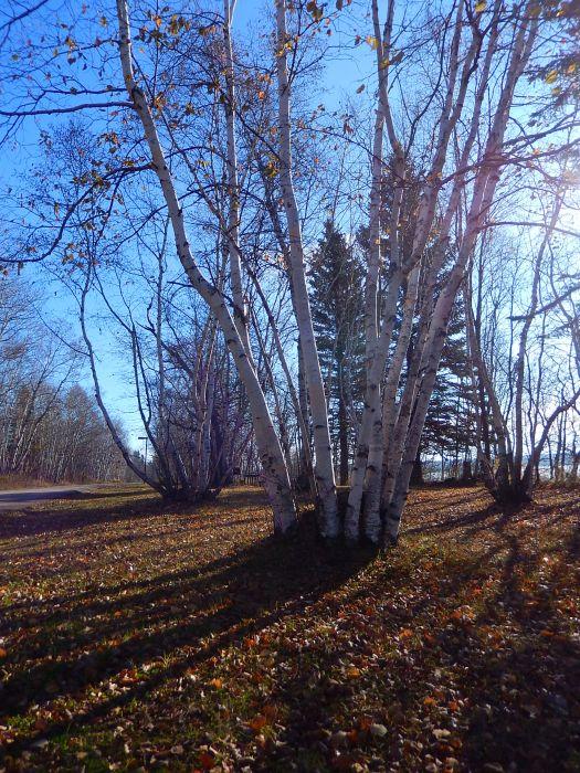 Trees and shadows at Kenosee Lake, 2016